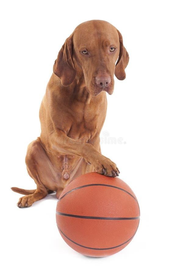 Download Sporting dog stock photo. Image of puppy, pointer, vizsla - 24639860