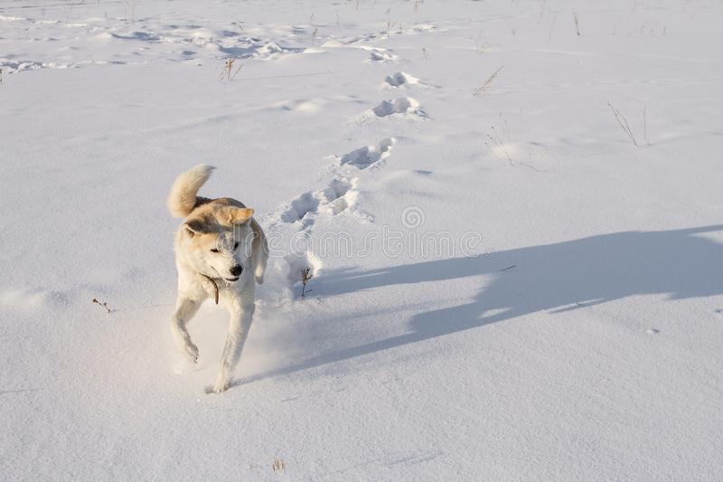 The sporting dog Japanese Akita Inu runs along the cleanest snowfield in a bright sunny winter day in Siberia. The sporting red dog Japanese Akita Inu runs royalty free stock photography