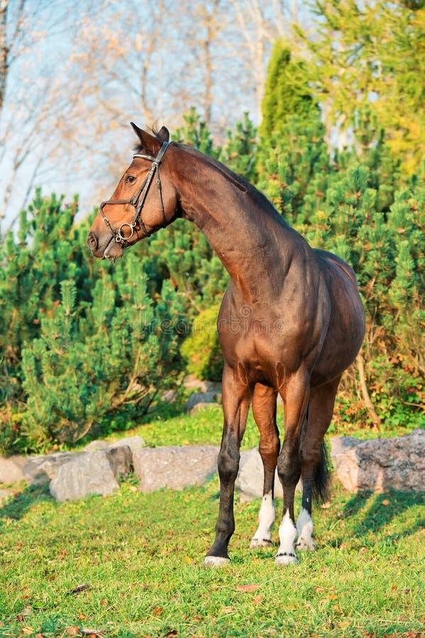 Sportive лошадь warmblood представляя в славном месте стоковые изображения rf