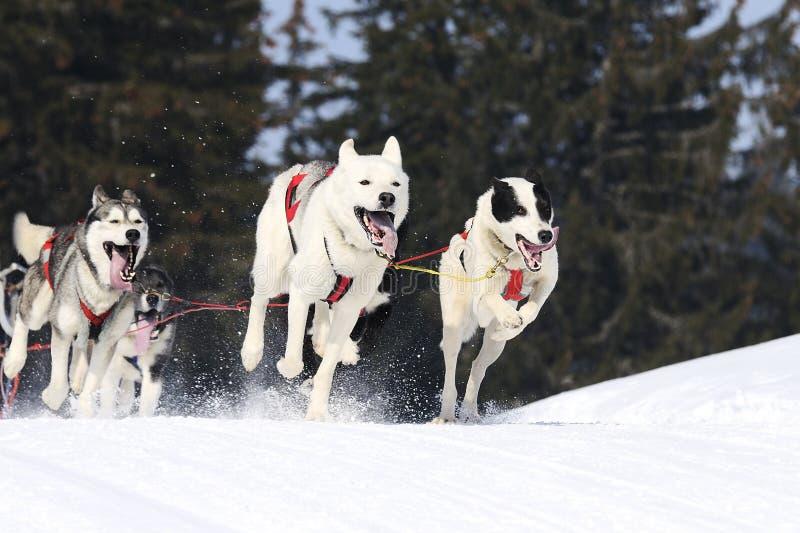 Sportive собаки стоковые фотографии rf