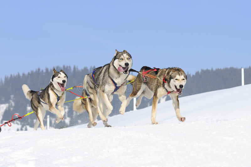 Sportive Hunde lizenzfreies stockfoto