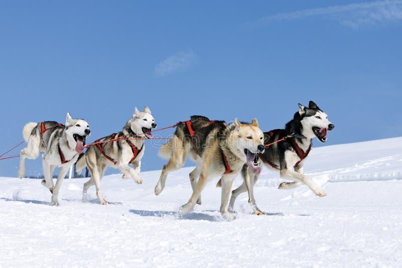 Sportive Hunde im Schnee lizenzfreie stockbilder