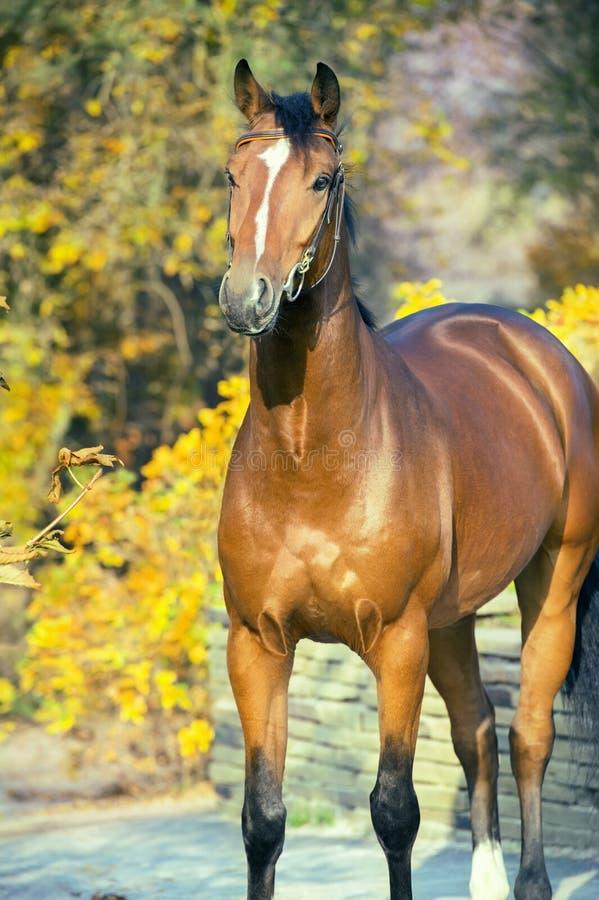 Sportive warmbloodhäst för stående som poserar mot gula sidor arkivfoton