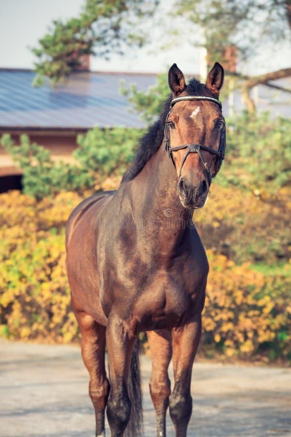Sportive warmbloodhäst för stående som poserar mot stall fotografering för bildbyråer
