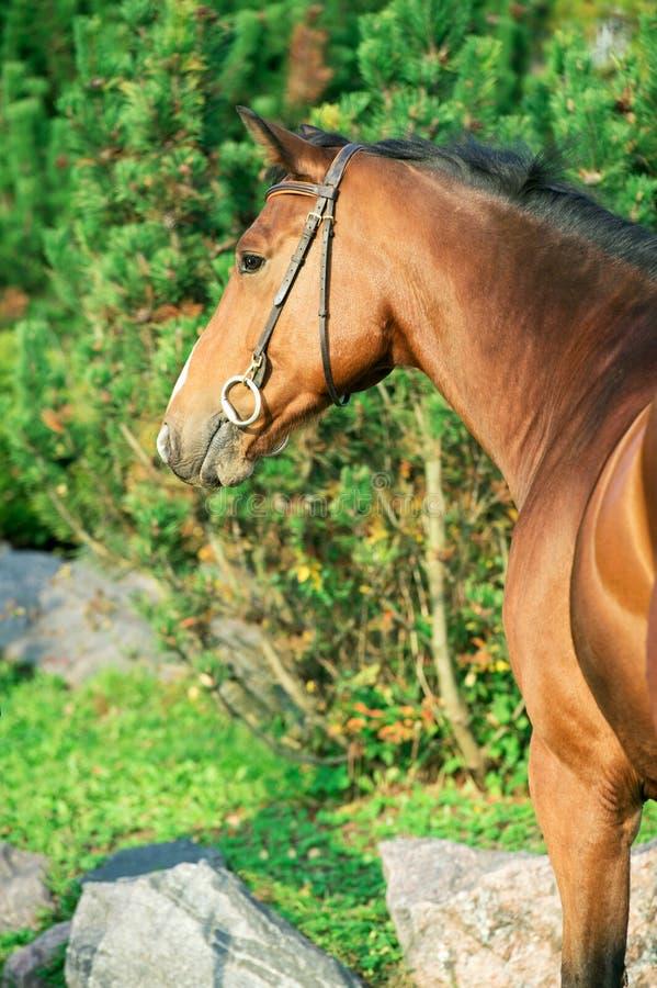 Sportive warmbloodhäst för stående som poserar mot stall royaltyfria bilder