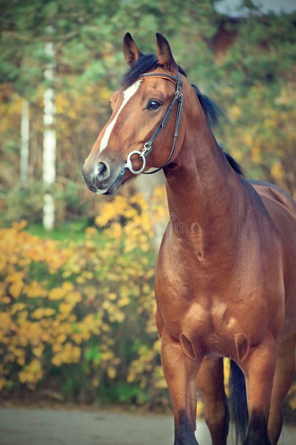 Sportive warmbloodhäst för stående som poserar mot stall arkivbild