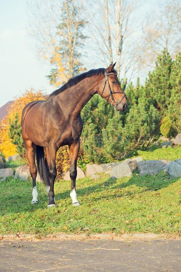 Sportive warmbloodhäst som poserar i trevligt ställe arkivfoto