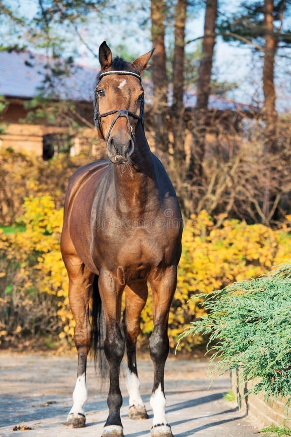 Sportive warmbloodhäst som poserar mot stall arkivfoton