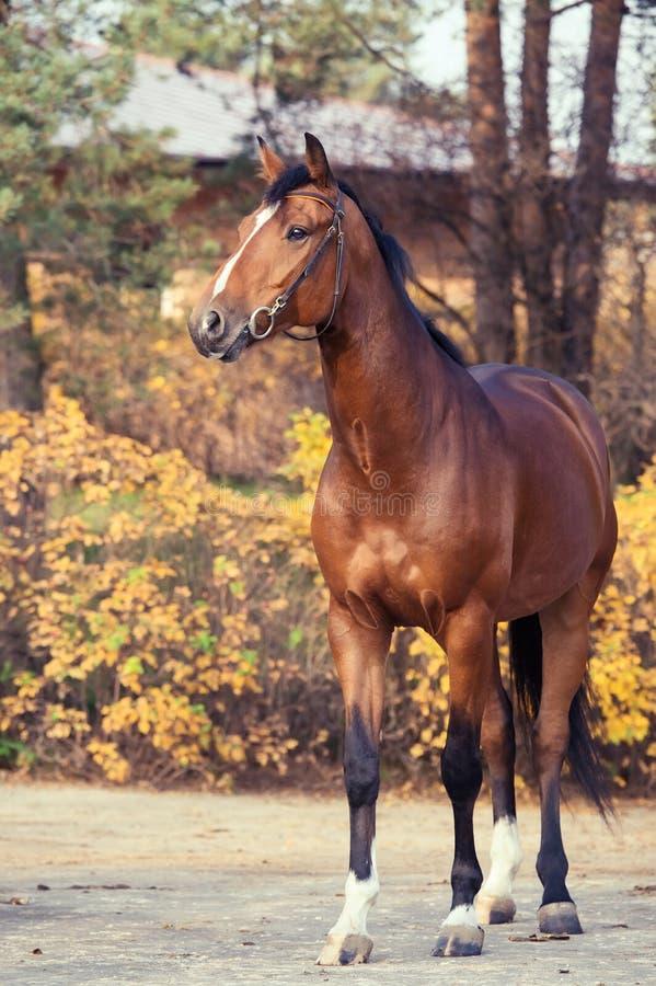 Sportive warmbloodhäst som poserar mot stall säsong för bana för höstfallskog arkivfoton