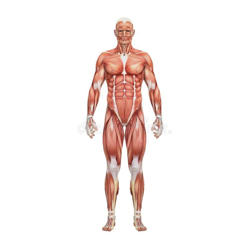 Sportowa męska ludzka anatomia i mięśnie royalty ilustracja