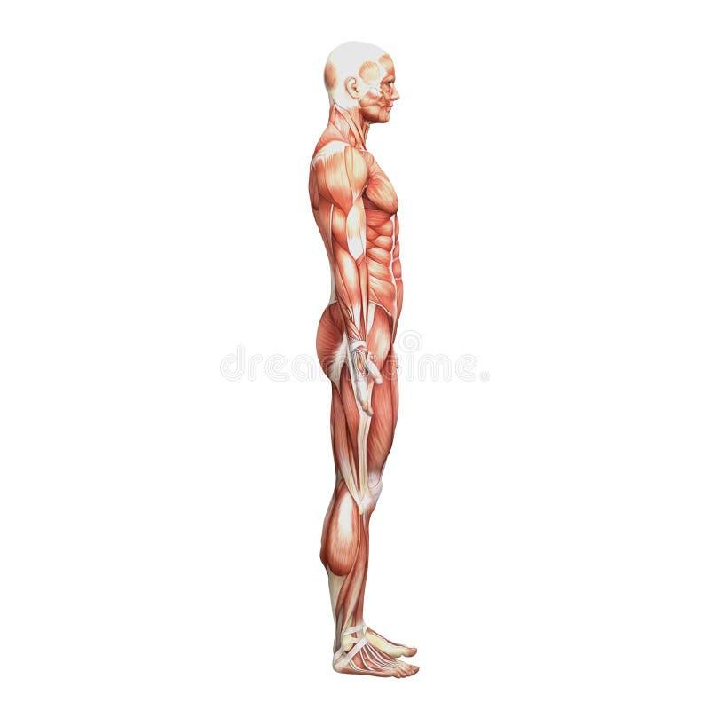 Sportowa męska ludzka anatomia i mięśnie ilustracja wektor