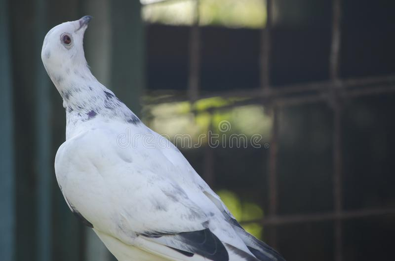 The sports postal pigeon is white. stock image