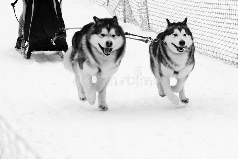 Husky sled run in harness on snow the track in winter. Sports sled dog race. Strong hardy Siberian dogs. Energetic Pets run and compete royalty free stock image