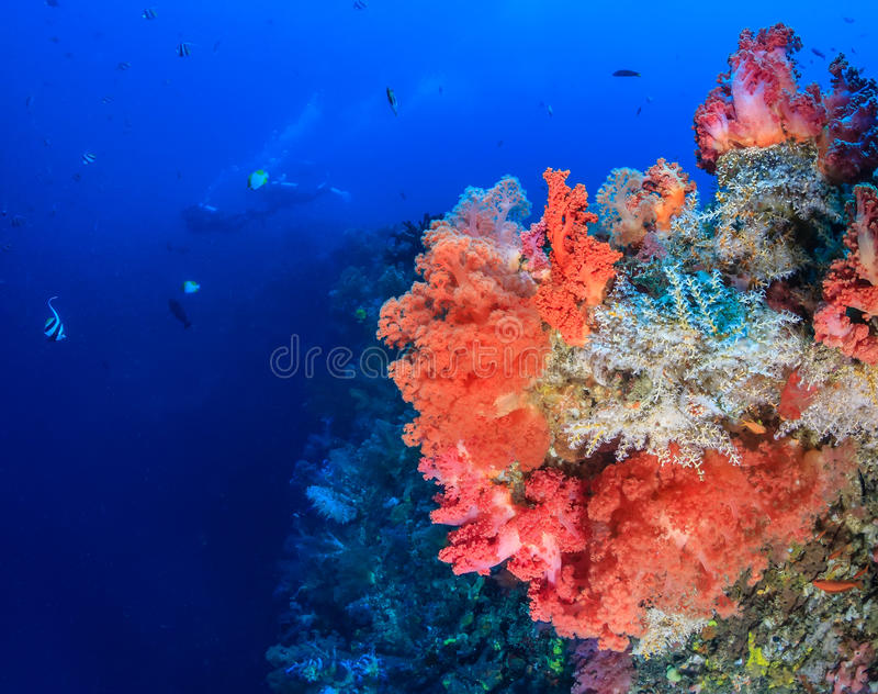 Sporttaucher und bunte weiche Korallen stockbild
