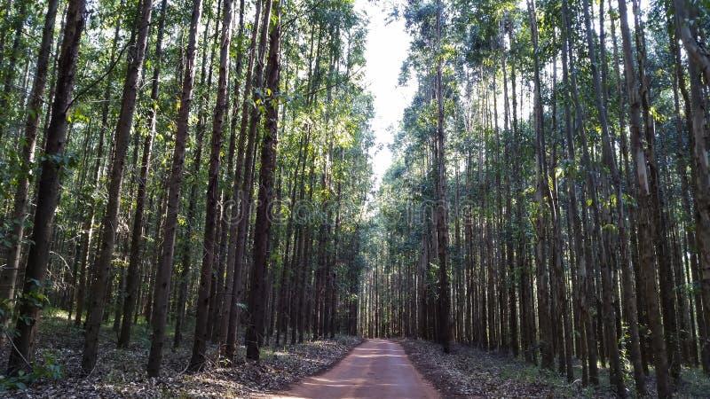 Sposób w eukaliptusowym lesie w czerwieni ziemi zdjęcie stock