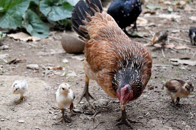 Sposób Życia Macierzyste karmazynki i mały dziecka kurczątko zdjęcie stock