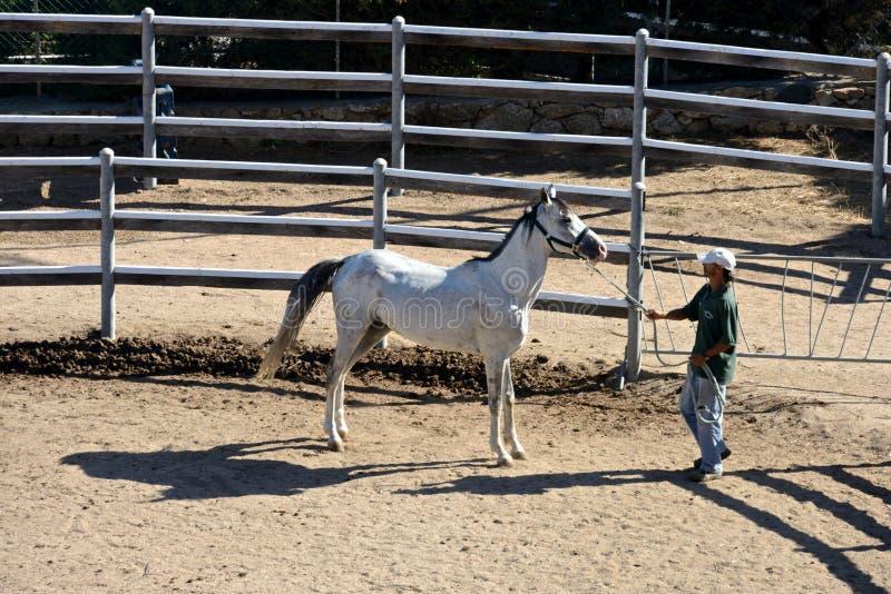 Sposo con il cavallo bianco dell'Arabo del purosangue fotografia stock libera da diritti