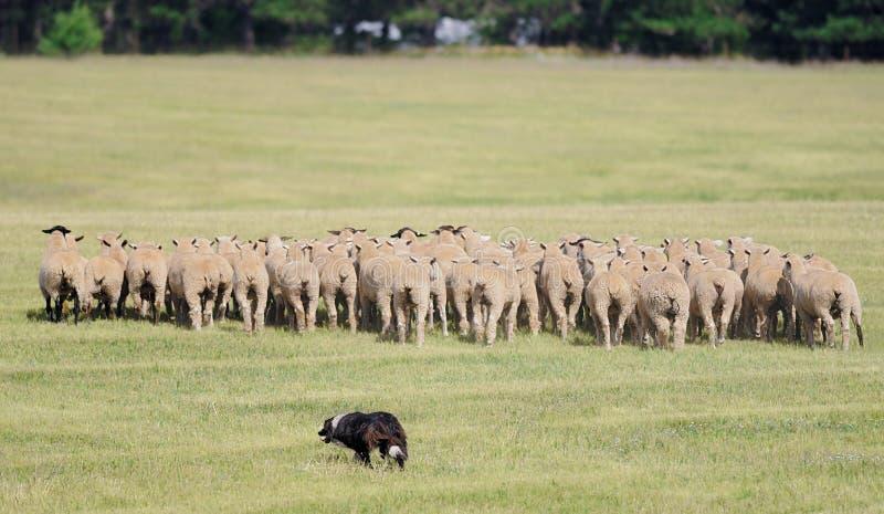Spostamento del gregge delle pecore (aries di Ovus) fotografie stock
