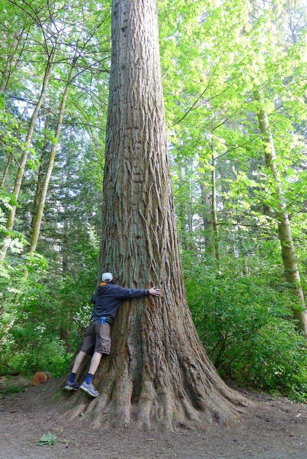 Spostamento dell'albero gigante nel parco della sequoia immagine stock