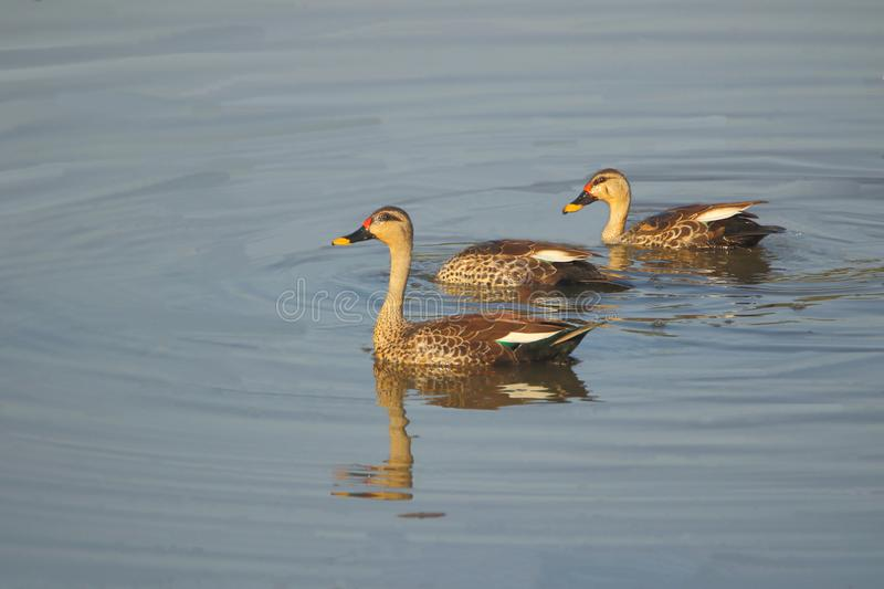 Spot bill duck family swimming in the water of pond royalty free stock photos