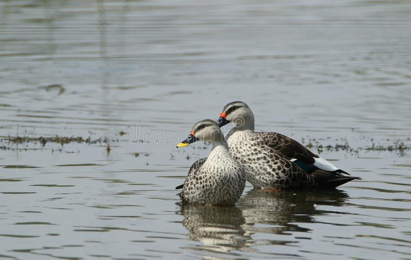 Spot billed duck stock photo