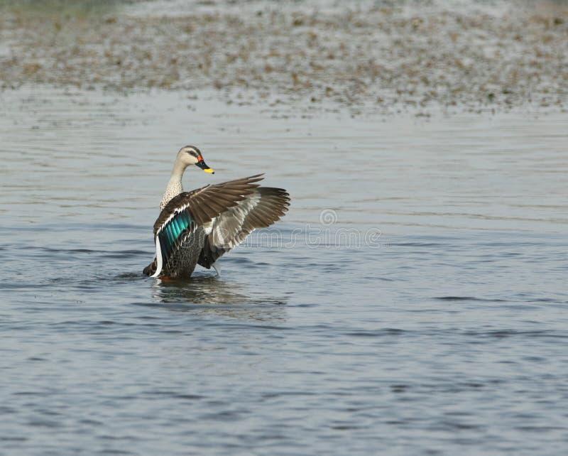 Spot billed duck stock image