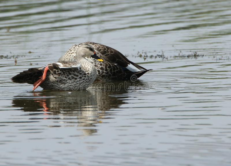 Spot billed duck stock images