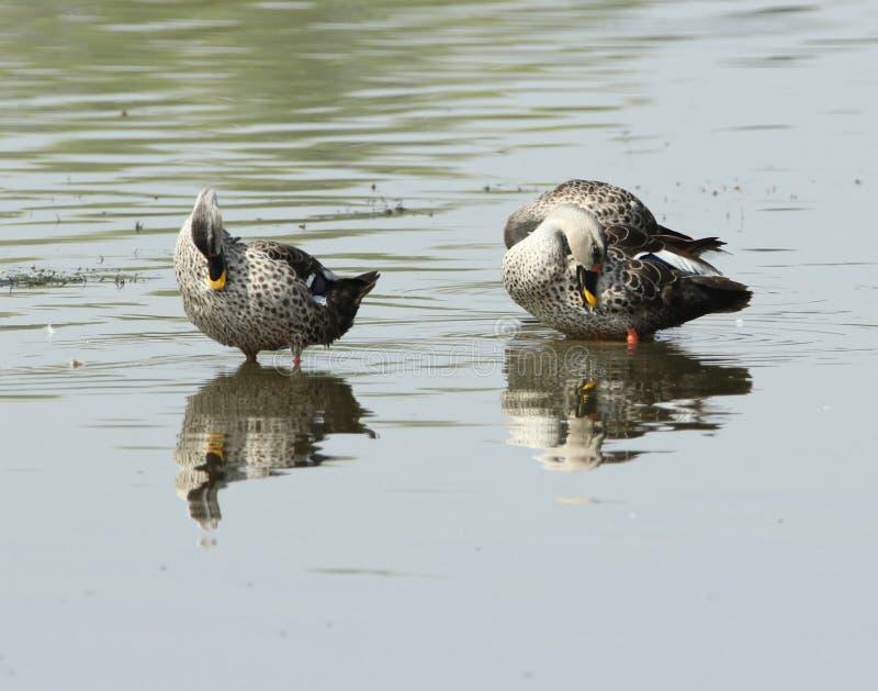 Spot billed duck royalty free stock photos