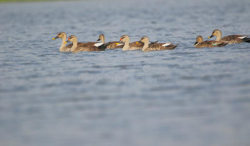 Spot billed duck family royalty free stock photography