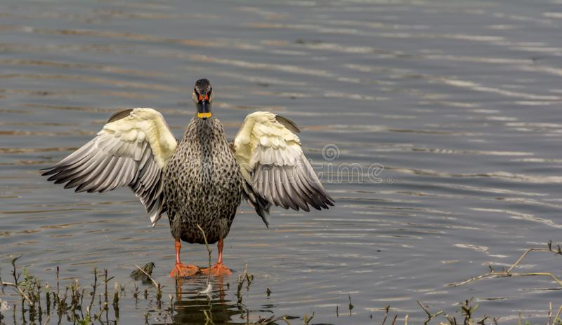 Show off : Indian spot-billed duck / Anas poecilorhyncha stock images