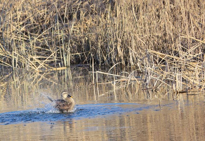 Spot-billed Duck royalty free stock photo