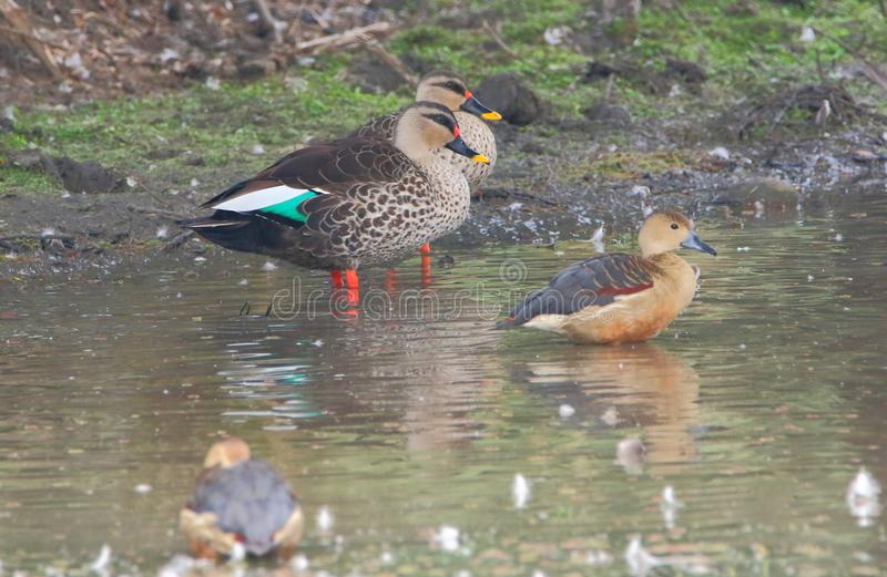 spot billed duck and lesser whistling duck royalty free stock photos