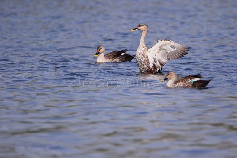 Spot billed duck stock photos