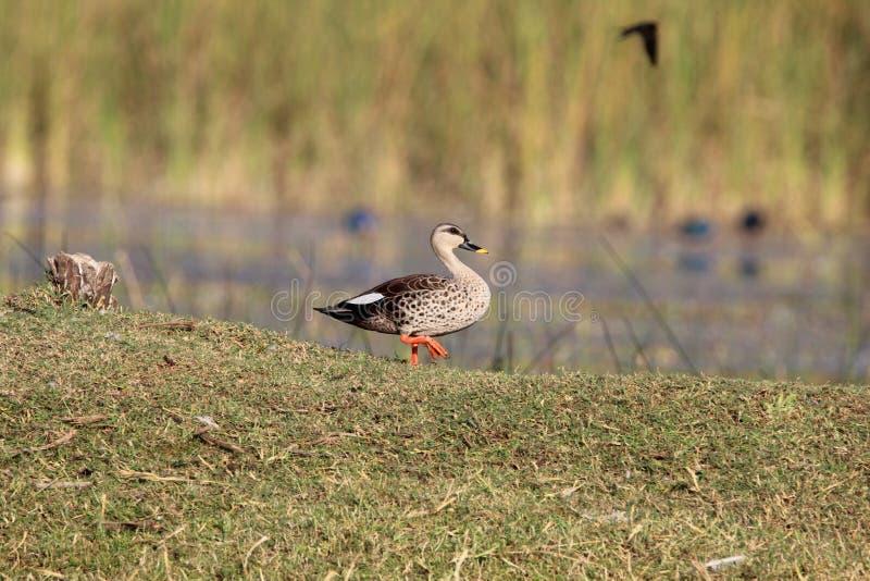 Spot billed duck stock photography