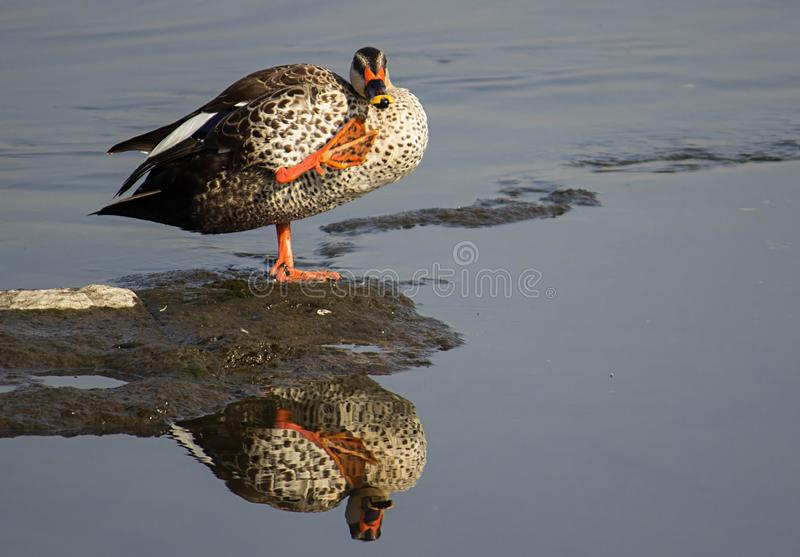Spot billed duck in a water at lake, beautiful mirror reflection of stilt bird. A beautiful spot billed duck bird in a lake, where there is a beautiful mirror royalty free stock images