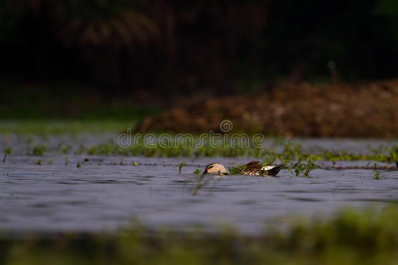 Spot billed duck in a wetland in Indore India stock photo