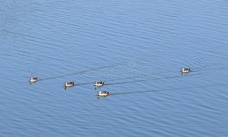 Spot-Billed Ducks at Randarda Lake, Rajkot, India. This is a photograph of spot-billed ducks swimming on surface of water of Randarda lake, Rajkot, India... They stock photo