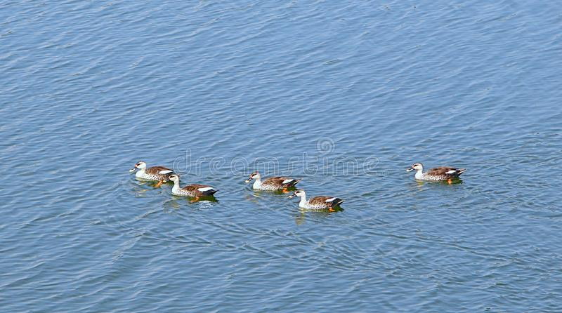 Spot-Billed Ducks at Randarda Lake, Rajkot, India. This is a photograph of spot-billed ducks swimming on surface of water of Randarda lake, Rajkot, India... They royalty free stock photo