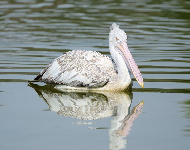 Download Spot-Billed Pelican Stock Images - Image: 23663344