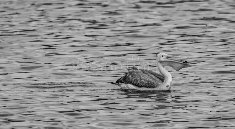 Spot billed pelican with a catch - Pelecanus philippensis. A spot billed pelican keeping itself dry. resting on a tiny stone on a vast lake. Swimming legs stock image