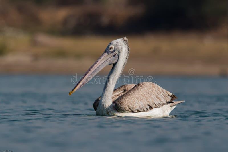 Spot-billed Pelican or Grey Pelican stock photography