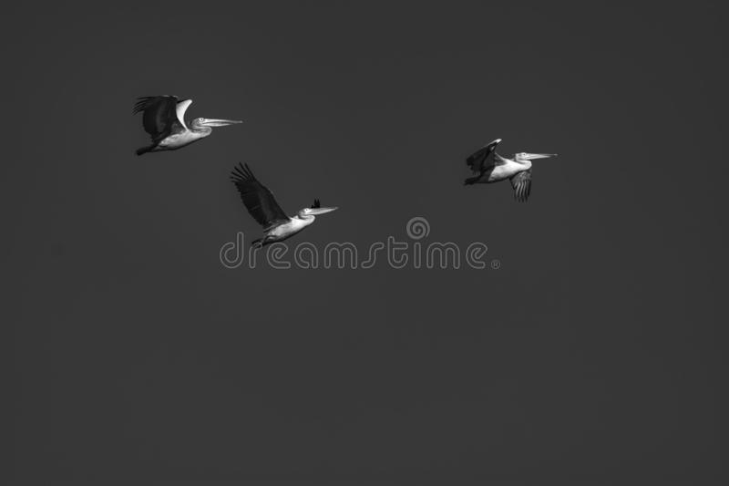 Freedom: Spot billed pelicans on a flight royalty free stock image
