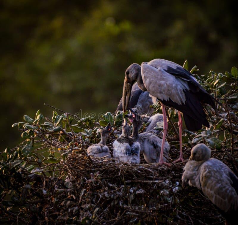 Spot Billed Stork. Feeding their babies at Nelapattu bird sanctuary, Andhra Pradesh stock photos