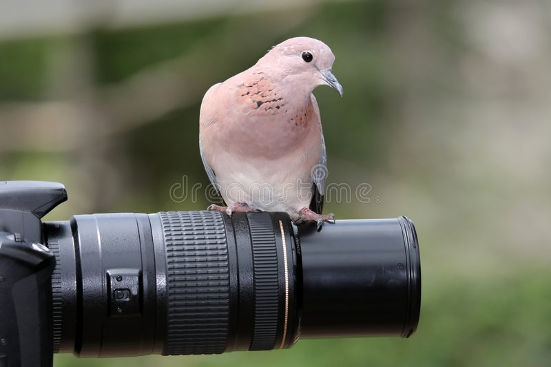Spot the Birdie!. Dove bird sitting on a photographers lens royalty free stock image