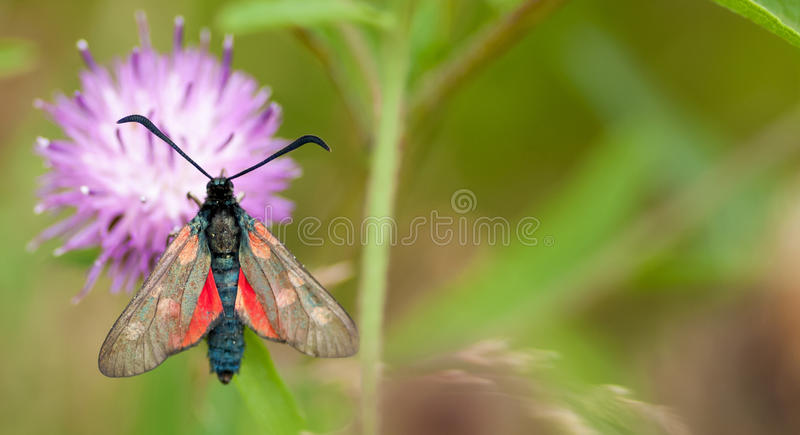 5-spot burnet moth at rest on black knapweed. 5-spot burney moth (Zygaena trifolii) resting in an English meadow on the flower head of black knapweed (Centaurea royalty free stock photography