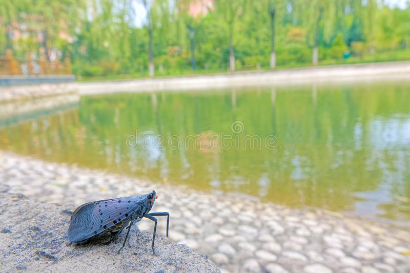 Spot Clothing Wax Cicada. A Spot Clothing Wax Cicada on lakeside. Scientific name: Lycorma delicatula stock photo