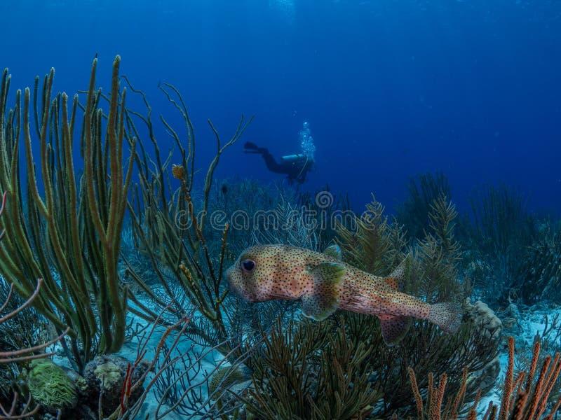 Spot-fin porcupinefish, Diodon hystrix Bonaire Caraïbisch duikvakantie royalty-vrije stock foto's