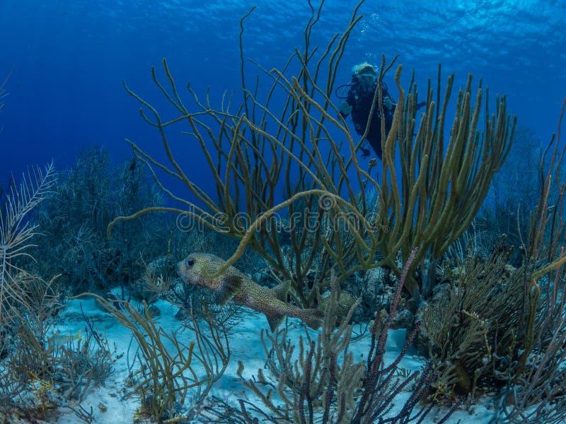 Spot-fin porcupinefish, Diodon hystrix Bonaire Caraïbisch duikvakantie stock afbeeldingen