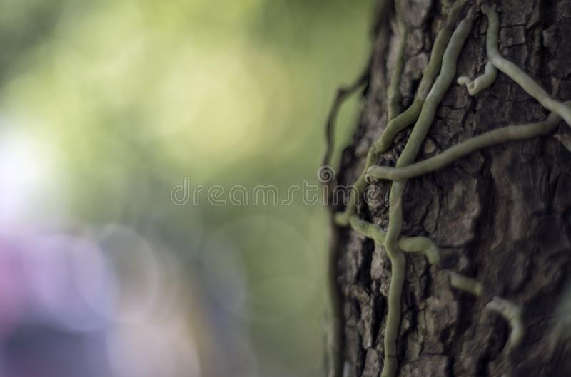 Spot focus Close-up, liana green leaves Blurred bokeh as background In the natural garden in the daytime.  royalty free stock image