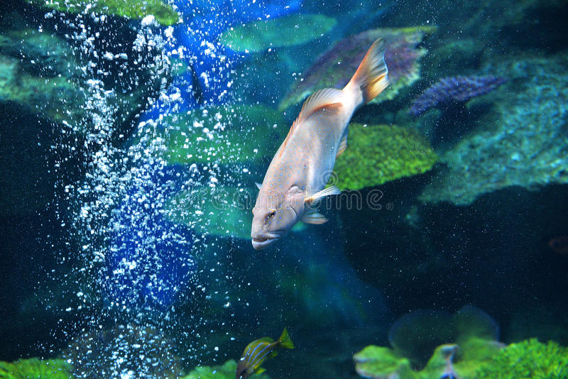 Spot Grouper Fish stock photography